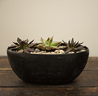 3 Echeveria starter plants and a rough cast charcoal black aluminium bowl
