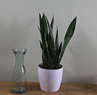 Sansevieria zeylanica and pot cover combination