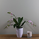 Phalaenopsis Little Star Willd and pot cover combination