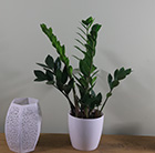 Zamioculcas zamiifolia and pot cover combination