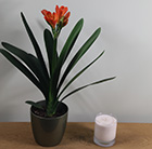 Clivia miniata and pot cover combination