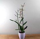 Brassia Toscane and pot cover combination