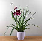 Miltoniopsis Newton Falls gx and pot cover combination