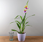 Miltonia Sunset and pot cover combination