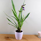Zygopetalum Trozy Blue and pot cover combination