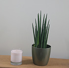 Sansevieria and pot cover combination