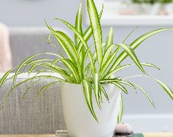 spider plant Chlorophytum (comosum Variegatum) and pot cover combination