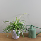 spider plant Chlorophytum  comosum Variegatum )  and pot cover combination
