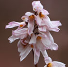 Abeliophyllum distichum Roseum Group