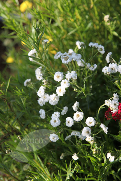 Buy Sneezewort Achillea Ptarmica The Pearl Group The