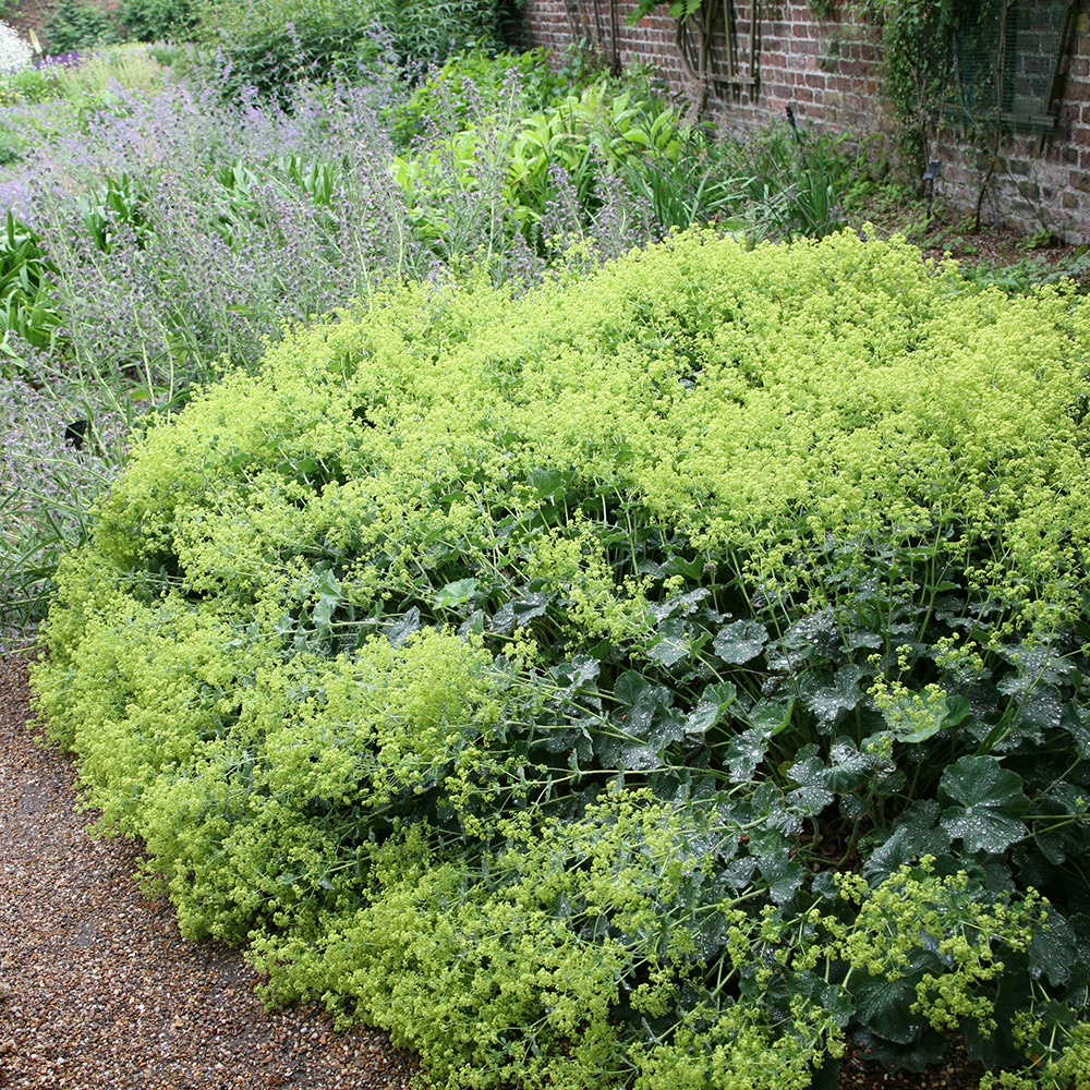 Buy lady's mantle Alchemilla mollis: Delivery by Crocus