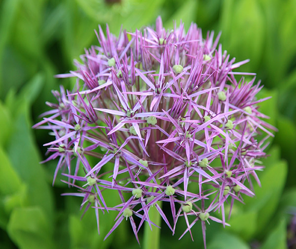 star of Persia ( Allium christophii )