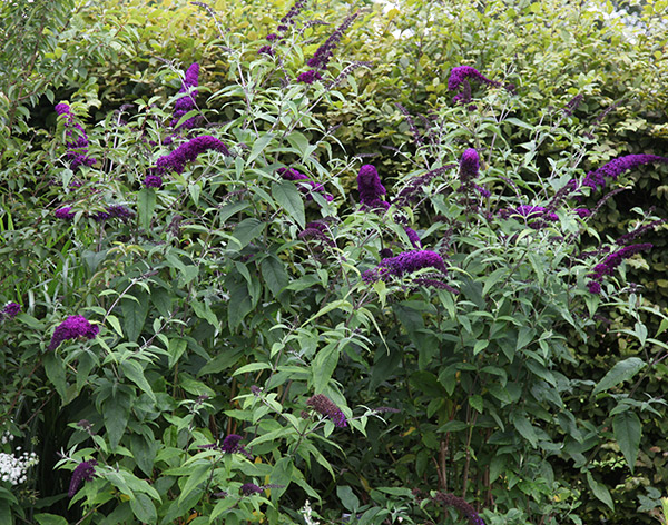 Buddleja 'Black Knight' - Butterfly Bush