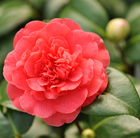 Camellia × williamsii Anticipation