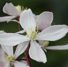 Clematis Apple Blossom