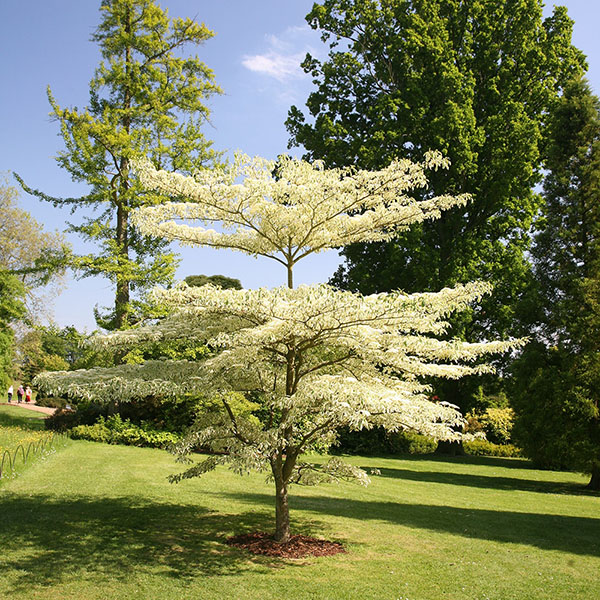 Cornus Wedding Cake Tree
