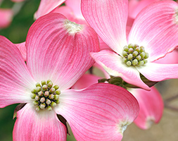 Click to view product details and reviews for Cornus Florida F Rubra Flowering Dogwood.