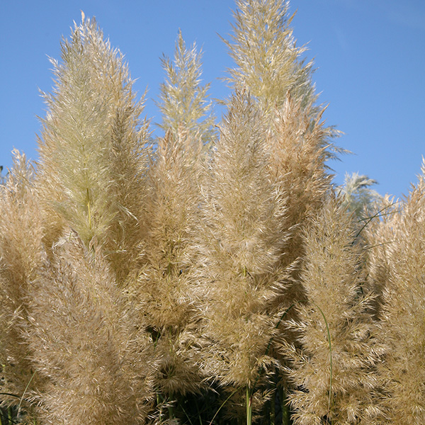buy pampas grass cortaderia selloana 39 pumila 39 delivery by crocus. Black Bedroom Furniture Sets. Home Design Ideas