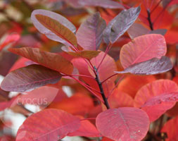 Click to view product details and reviews for Cotinus Aposgraceapos Smoke Bush.