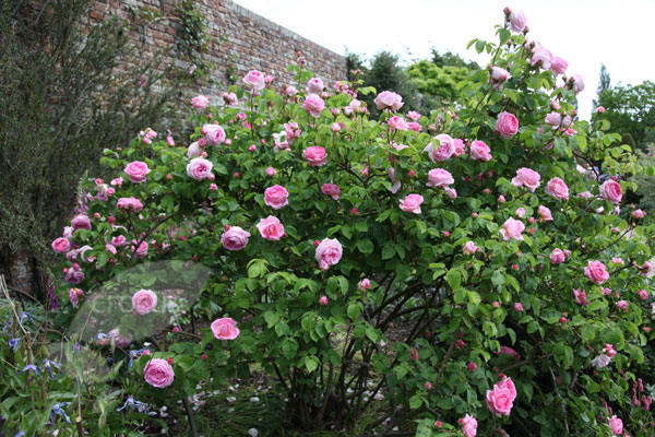rose Constance Spry (climber/shrub)