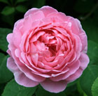 rose Constance Spry (climbing/shrub)