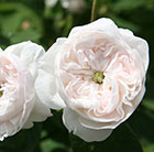 rose Madame Hardy (shrub)