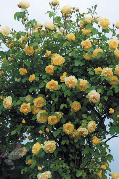 rose Graham Thomas (shrub)