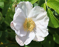 Click to view product details and reviews for Rosa Rugosa Aposalbaapos White Japanese Rose Shrub.