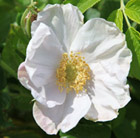 white Japanese rose (shrub)