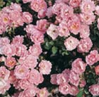 rose Surrey (ground cover)