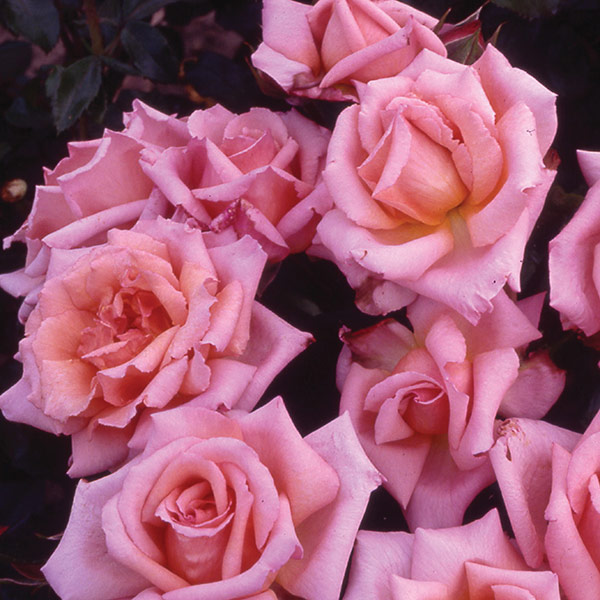 rose Compassion (climbing hybrid tea)
