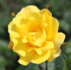 Rosa Golden Showers