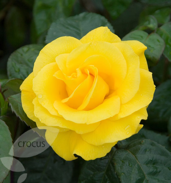 rose Golden Wedding  (floribunda/hybrid tea)