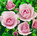 rose Congratulations (hybrid tea rose)