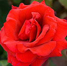 Rosa Royal William ('Korzaun') (PBR)