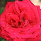 rose Royal William (hybrid tea)