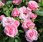 Rosa Pretty Polly ('Meitonje')