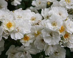 Rosa 'Rambling Rector' (rose Rambling Rector (rambler))