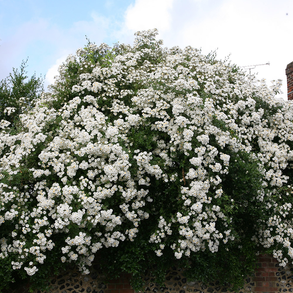rose Rambling Rector (rambler)