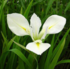 Iris louisiana Her Highness