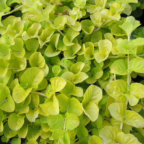 Buy golden creeping jenny Lysimachia nummularia 'Aurea ...