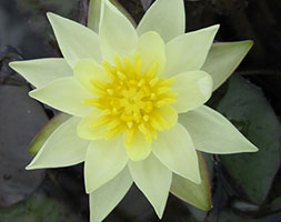 Click to view product details and reviews for Nymphaea Apospygmaea Helvolaapos Water Lily.