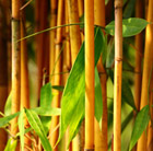 golden-groove bamboo