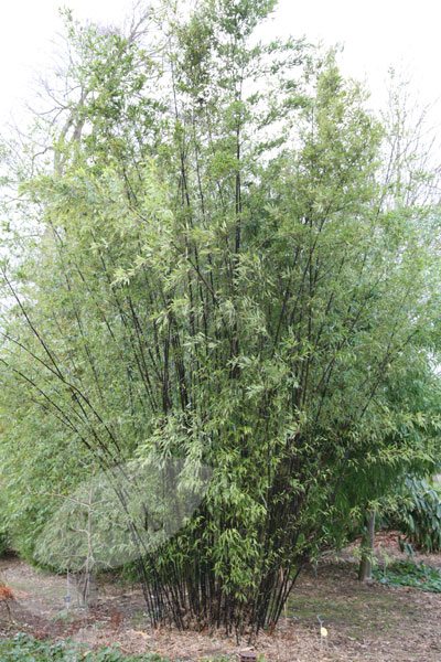 Buy Black Bamboo Phyllostachys Nigra Delivery By Crocus