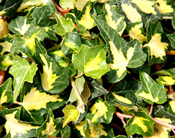 Click to view product details and reviews for Hedera Helix Aposoro Di Bogliascoapos Common Ivy Syn Goldheart.