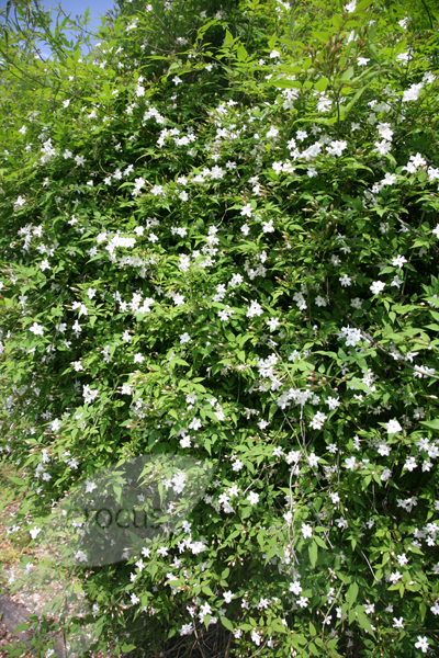 Buy Common White Jasmine Jasminum Officinale Delivery By
