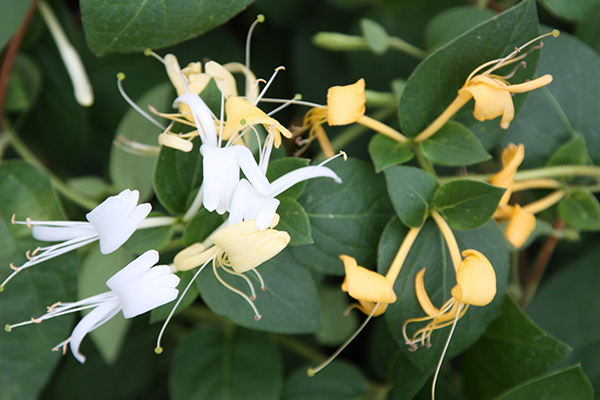 Buy Japanese Honeysuckle Lonicera Japonica Halls Prolific
