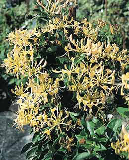 English wild honeysuckle