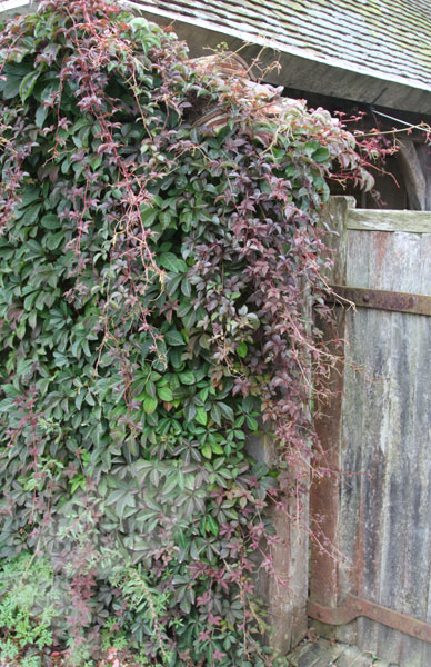 Chinese virginia creeper