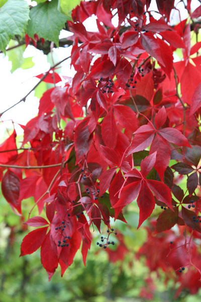 buy virginia creeper parthenocissus quinquefolia delivery by crocus, Natural flower